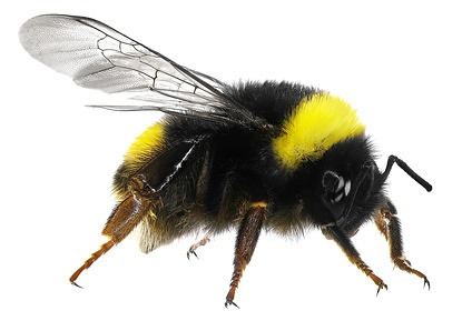 Bumble Bee Removal and Relocation - Bloom Pest Control - Portland OR