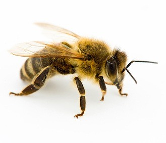 Honey Bee Removal and Relocation - Bloom Pest Control - Portland OR