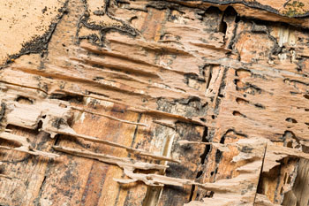 Termite Control - Termite Infestation - Termite Exterminator - Portland OR Vancouver WA