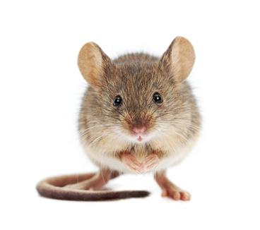Mouse Extermination, rat Extermination, Pest Control - Portland OR Vancouver WA