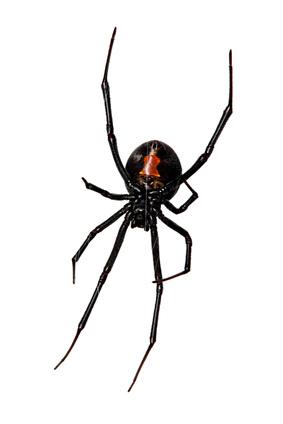 Black Widow Spider Exterminator - Spider Extermination - Portland Oregon - Vancouver WA